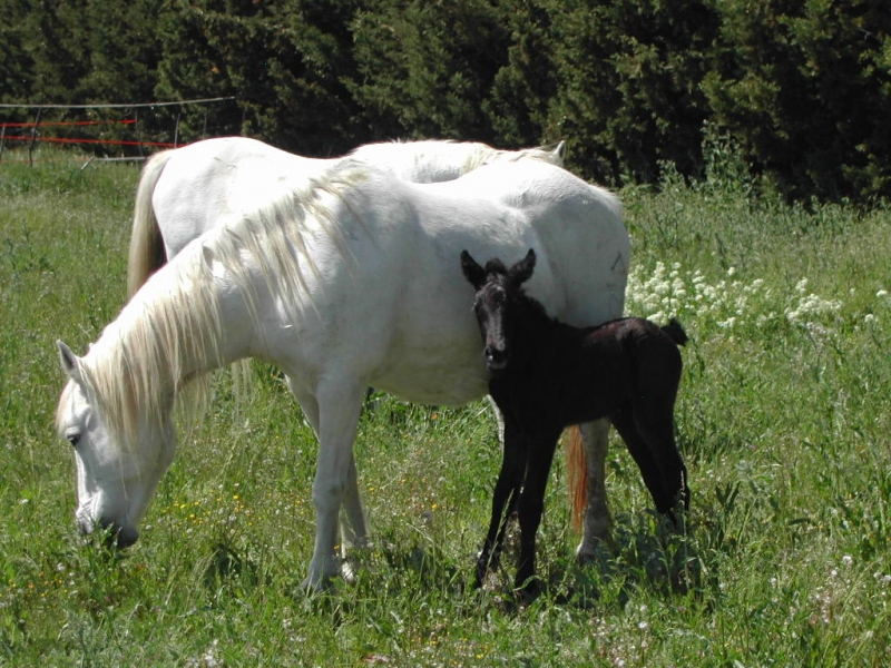 Camargue foal born on the farm in May 2010.