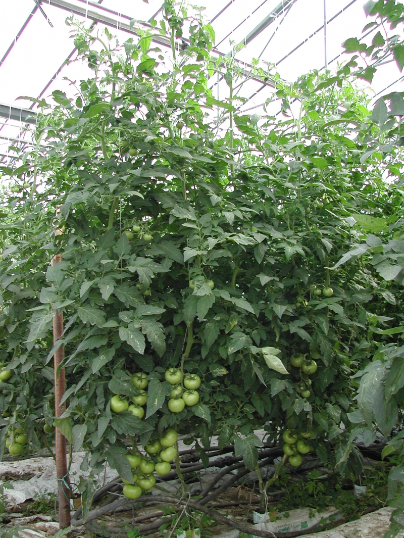 Before the cultivation of Spirulina micro-algae, we produced tomatoes, cucumbers and salads in our greenhouses.